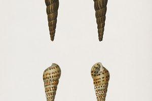 Melania atra and Pyramidella (PSD)