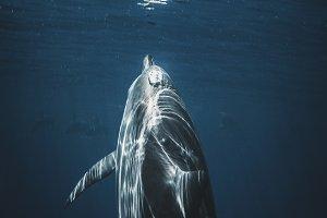 Hawaiian Spinner Dolphin