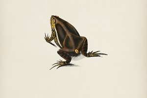 Oval frog (Engystoma ovale)