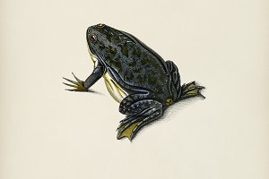 Clawed frog (Dactylethra capensis)