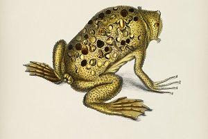 Surinam toad (Pipa americana)