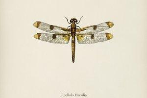 Painted skimmer (Libellula Hersilia)