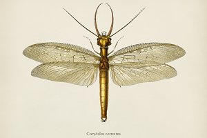 Eastern dobsonfly (Corydalus cornutu