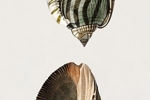 Striped bonnet mollusk (PSD)