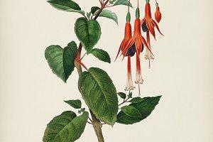 Hummingbird fuchsia (Fuchsia gracili