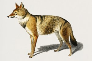 Illustration of Golden Jackal (PSD)