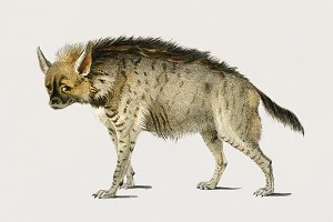 Illustration of Striped hyena (PSD)