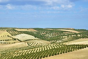 field of olive trees in Andalusia