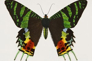 Madagascan Sunset Moth(PSD)