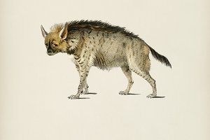 Striped hyena (Hyene rayee)