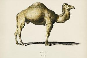 Camel (Camelus)
