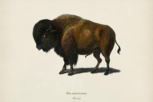 Bison (Bos americanus)