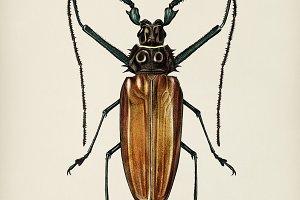 Enoplocerus Armillatus