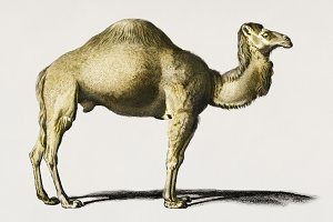 Illustration of Camel (PSD)