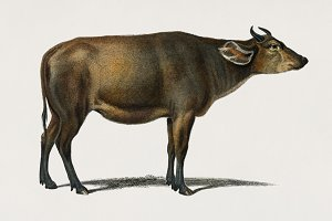 Illustration of cow (PSD)