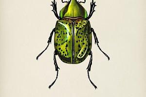 Eastern Hecules Beetle