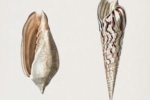 Wavy Volute mollusk (PSD)