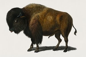 Illustration of Bison (PSD)