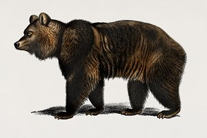 Illustration of Brown Bear (PSD)