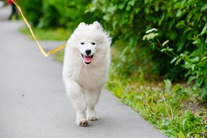 happy Samoyed dog white and fluffy