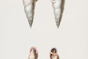Bulimus mollusk (PSD)
