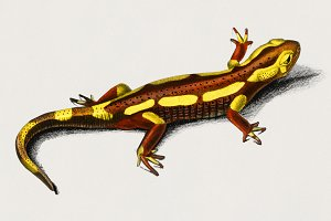 Illustration of Salamander (PSD)