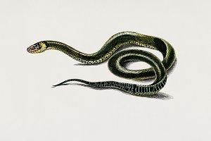 Grass Snake (PSD)