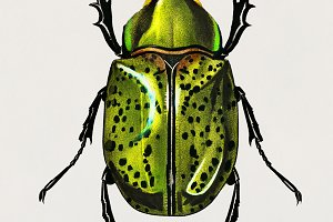 Illustration of Beetle (PSD)