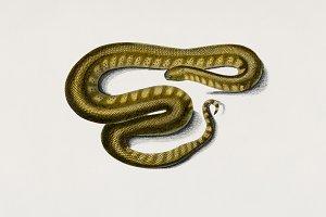 Elephant trunk snake (PSD)