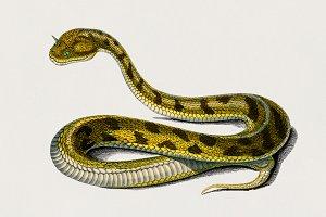 Saharan horned Viper (PSD)