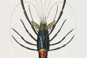 Crimson Crawfish hand drawn (PSD)