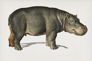 Illustration of Hippopotamus (PSD)