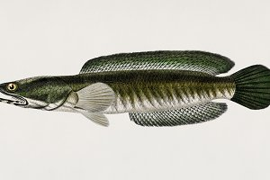 Striped snakehead (PSD)