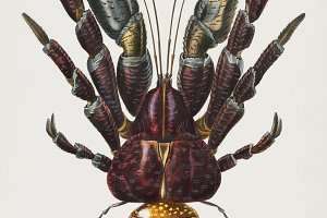 Coconut Crab hand drawn (PSD)