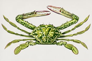 Portunus crab hand drawn (PSD)