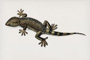 Lilford'swall lizard (PSD)