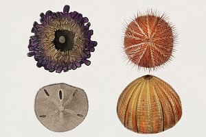 Different types of sea urchins (PSD)