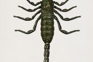 Illustration of scorpion (PSD)
