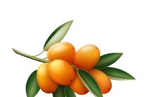 Kumquat branch with fruits