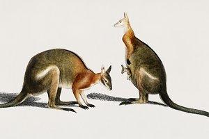 The red kangaroo (PSD)