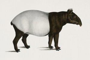 Malayan Tapir (PSD)