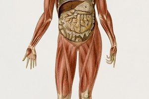 Human myology system (PSD)
