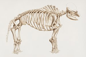 Mammoth skeletons hand drawn (PSD)