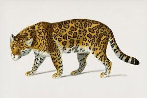 Jaguar (Panthera Onca) (PSD)