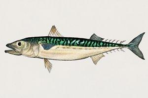 Chub mackerel (PSD)
