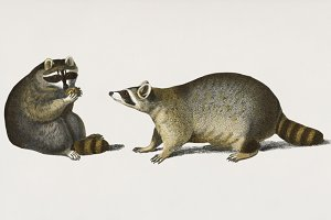 Illustration of Raccoon (PSD)