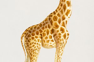 Illustration of giraffe (PSD)