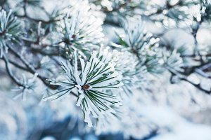 Needles in snow