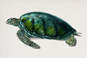 Illustration of turtle (PSD)