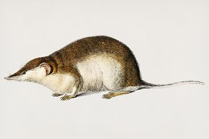 Shrew hand drawn (PSD)